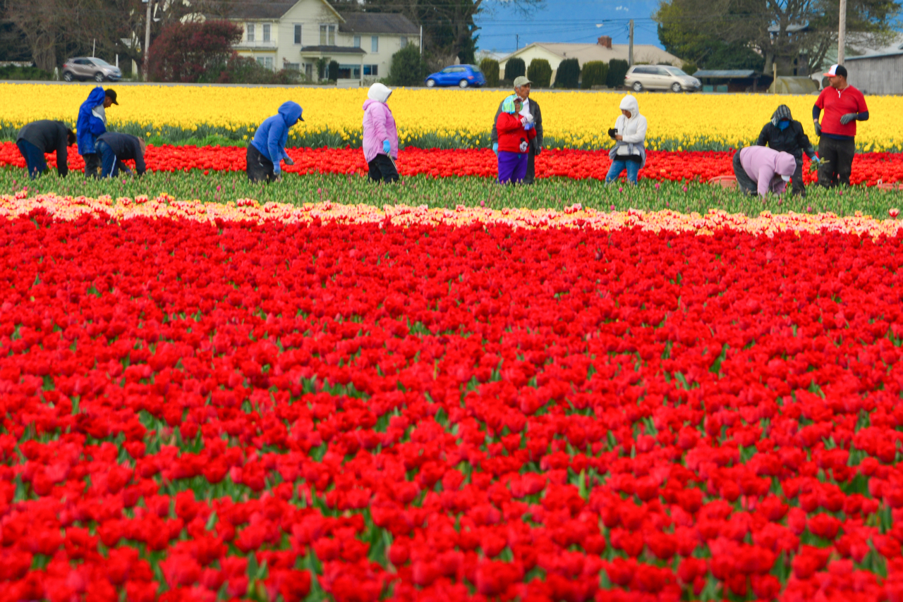 Workers are continuing to prune the few tulips that are not yet in bloom