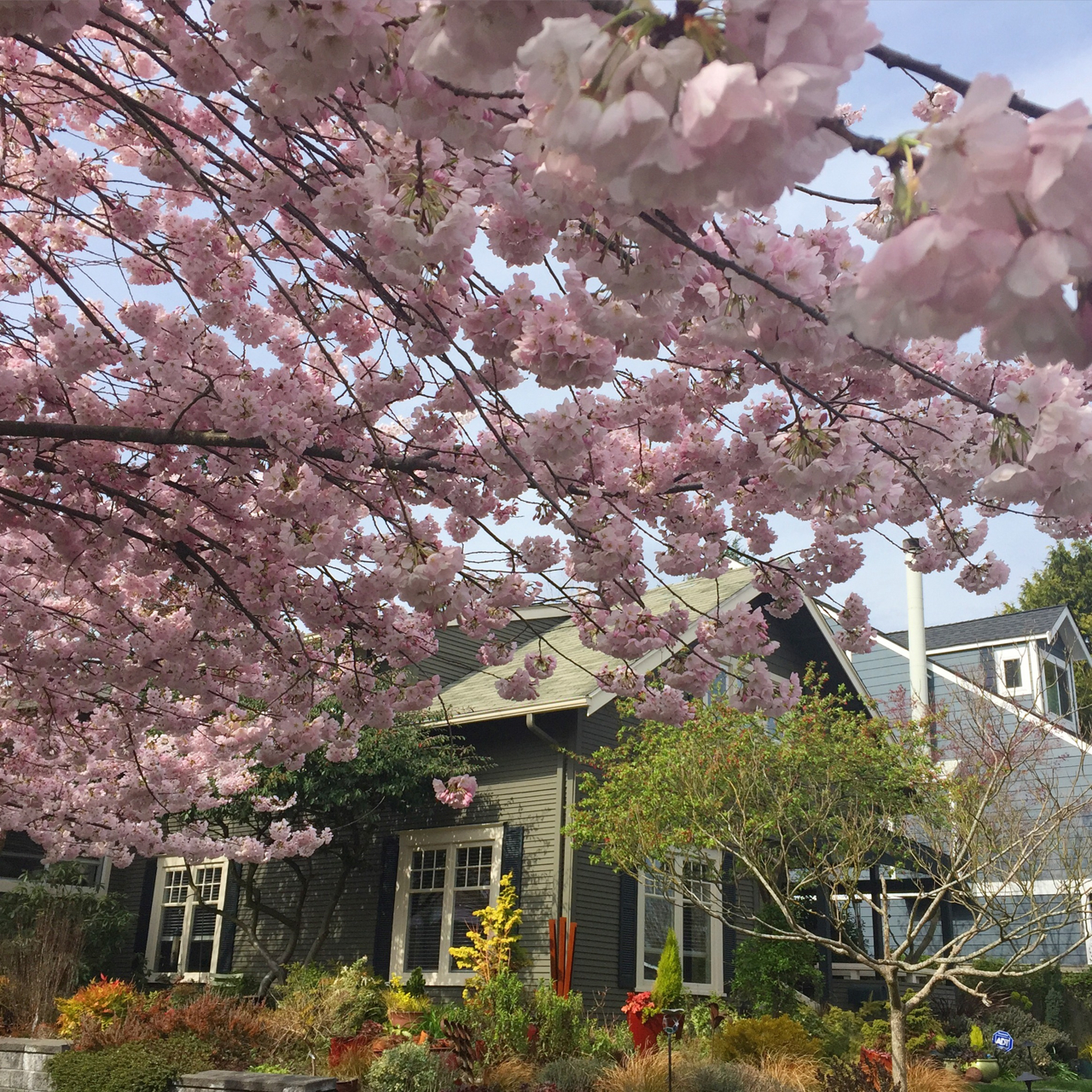 Cherry blossoms blooming in West Seattle