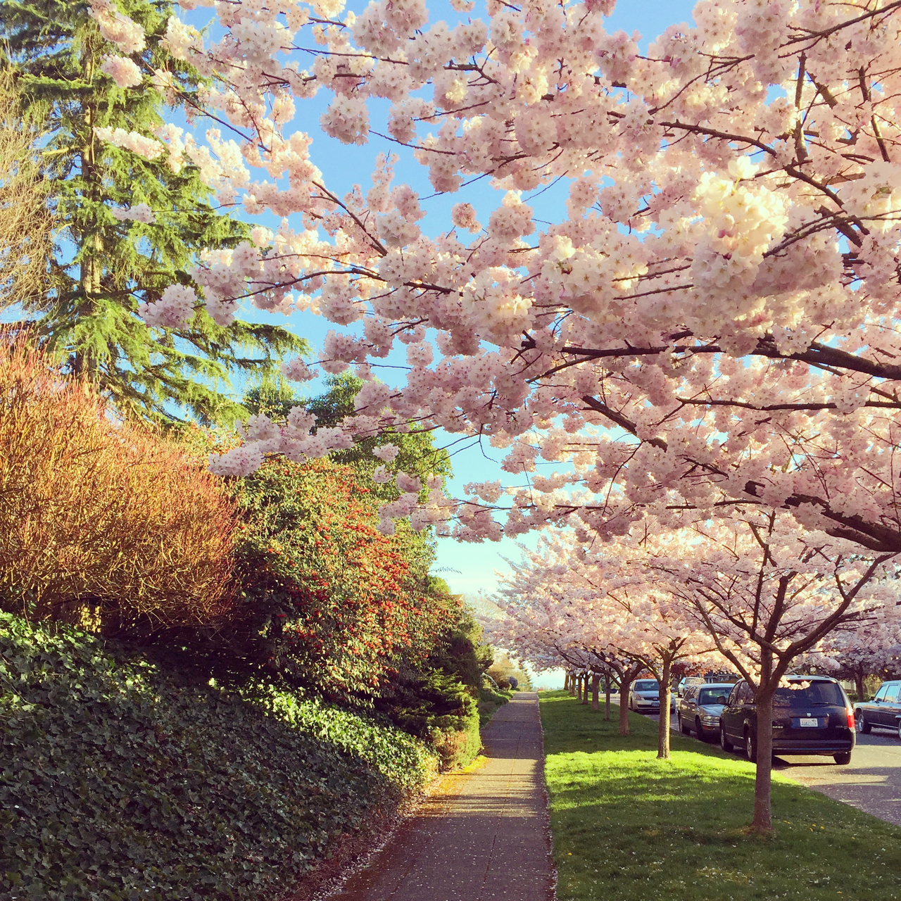 The cherry blossom lined streets