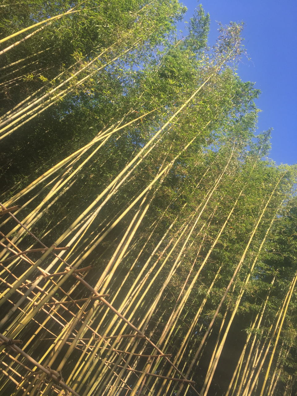 The towering bamboo at the entrance